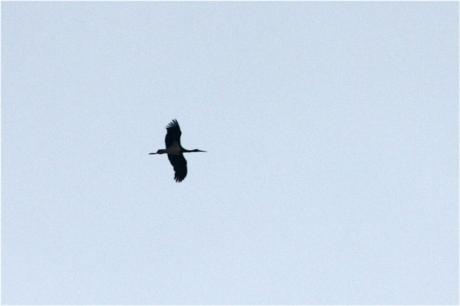 Gilles Hauser, cigogne noire en migration à Givisiez