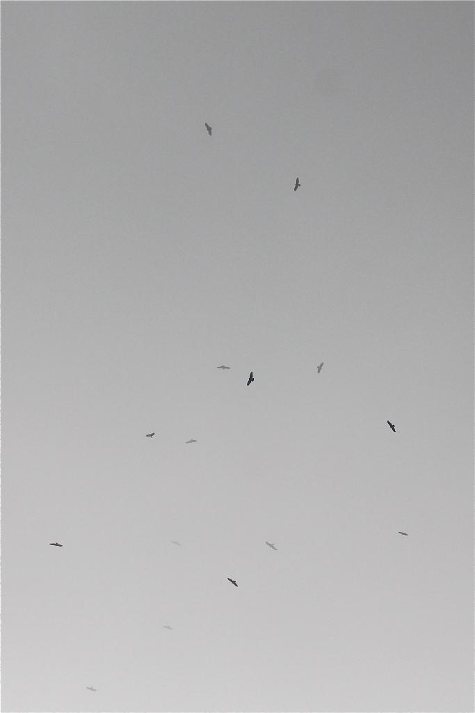 Gilles Hauser, groupe de buses en migration à la limite du brouillard