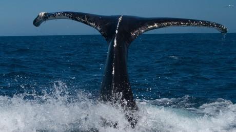 baleine-a-bosse-19s